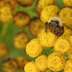 Macro of a Bubble Bee on Tansy