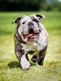 Fototapeta Bulldog w biegu