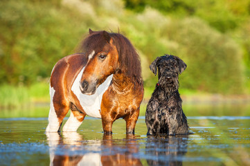 Giant schnauzer dog with painted shetland pony in the water