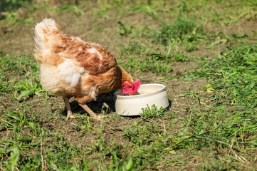 Freilaufendes Huhn beim fressen