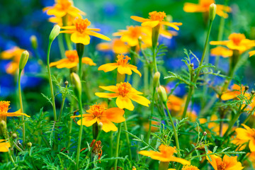Tagetes flowers in the garden