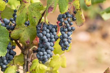 Alicante - uva da vino