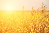 Fototapety Vintage yellow flower field
