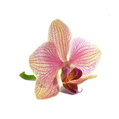 Purple Orchid Flower isolated