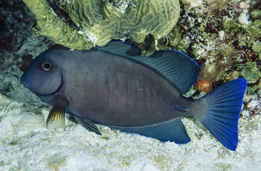 Caribbean Sea, Belize, U.W. photo, Surgeonfish