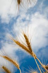 wheat from below