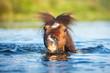 Shetland pony swimming - 69215863