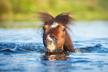 Shetland pony swimming
