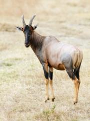 Topi on the Masai Mara in Africa