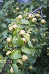 owoce dzikiej gruszy
