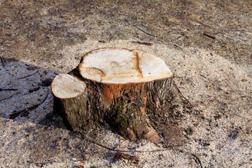 Baumstumpf mit Sägemehl