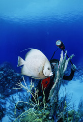 Caribbean Sea, Belize, a diver photographing an Angel fish