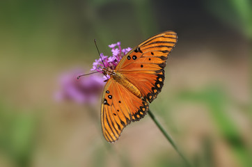 Gulf fritillary or passion butterfly (Agraulis vanillae).