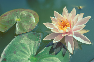 Lotus in pond with pastel or vintage style