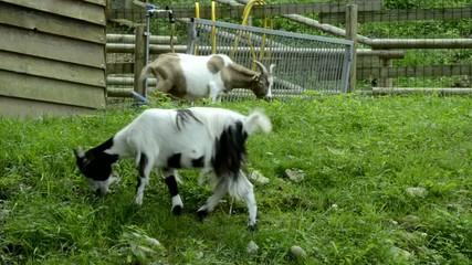 Capra Ziegen Chèvre Cabra 家山羊 Tamget Коза домашняя Goat