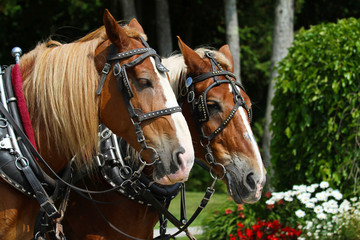 Team of two draft horses on Mackinac Island