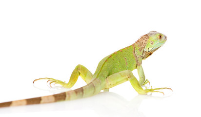 green iguana rear view. isolated on white background