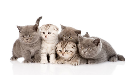 group scottish and british shorthair kittens. isolated on white