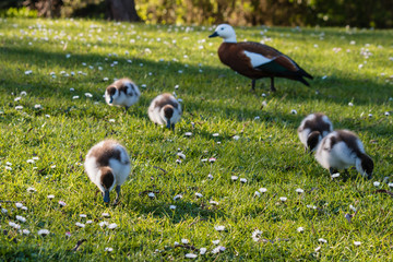 paradise shelduck with ducklings on fresh grass