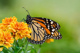 Monarch butterfly (Danaus plexippus) during autumn migration mouse pad