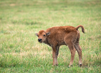 Cute buffalo bison calf on green pasture