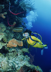 Caribbean Sea, Belize, diver close to a tropical Tube Sponge