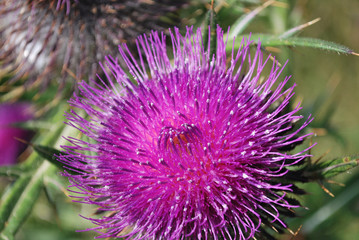 Prickly milk thistle in all its splendor on a greenish unfocused