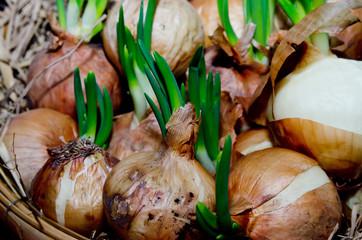Fresh onion from garden of thailand
