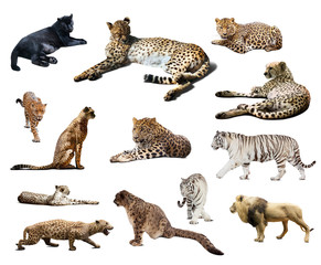 Set of Cheetah and other  wildcats. Isolated over white