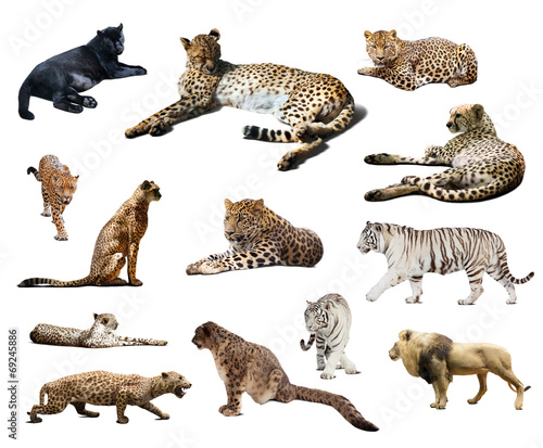 canvas print picture Set of Cheetah and other  wildcats. Isolated over white