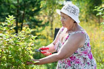 Elderly woman pruning shrubs with pruner
