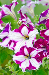 Purple with white petunia flowers