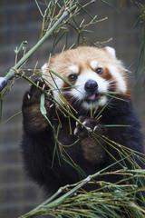 Lesser Panda eating bamboos