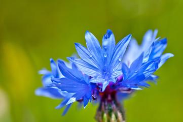 Cornflower close up (Centaurea cyanus)