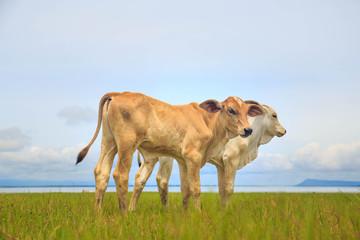 pretty little calf standing alone in green pasture
