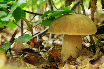 Boletus edulis, commonly known as the porcini as well as penny b