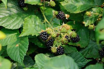 berries of blackberry on the leaf