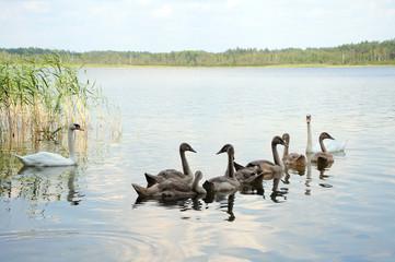 Family of white swans