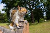 Grey Squirrel on a park bench
