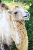 Camel on a background of aviary. poster