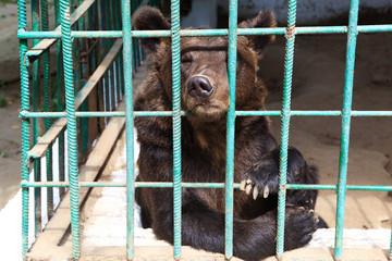 Sad bear in a cage.
