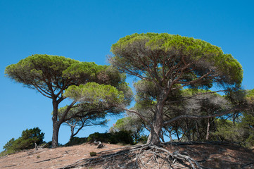 mediterranean parasol pines