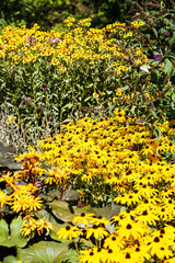 Meadow of Brown-eyed Susans in Garden