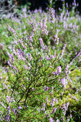 flowers of heather in the forest