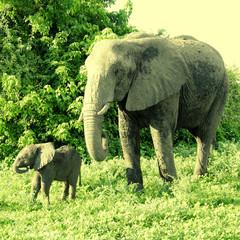 Mother and baby african elephants, Botswana.
