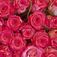 rde roses closeup, natural background