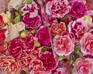 carnation flowers closeup, natural background