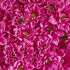 colorful chrysanthemum flowers closeup