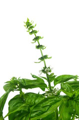 green fresh basil with flower