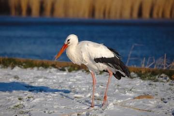 Stork in Winter